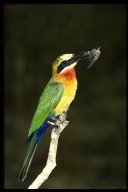 Whitefronted_beeeater_268040_1